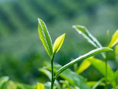 科普从叶片认识茶叶知识—黄观音